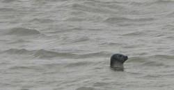 Seehund im Watt